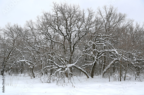 Photo  snowbounded oaks in forest