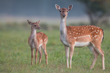 Doe And Fawn Fallow Deer, Dama...