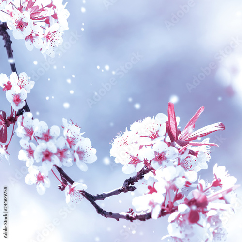 Autocollant pour porte Fleur de cerisier Natural spring background. Delicate white and pink apricot flowers in the spring garden. Square image.
