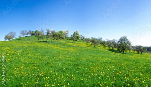 Fotografering  Blumenwiese mit blühendem Löwenzahn im Frühling an einem Hügel mit einem Obstgar