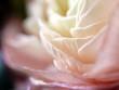 Rosenblüte Nahaufnahme