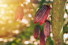 Cocoa Pod Growing On The Tree On The Farm
