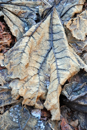 Fotografía  Close up of withered leaves with dark blue veins of  Brazilian giant-rhubarb, gi