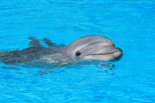 Dolphin Swims In A Dolphin Pool