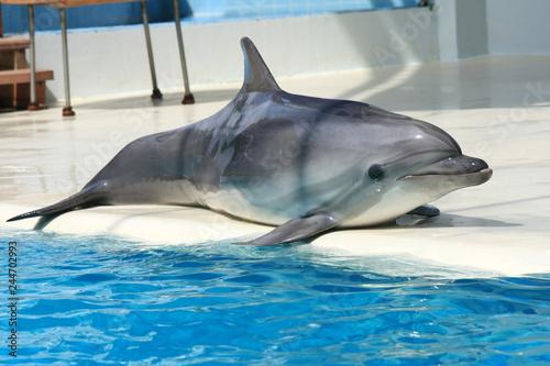 Plakat Delfin na zabawnym pokazie w akwarium