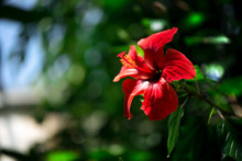 Beautiful Red Hibiscus Flower ...