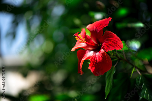 Beautiful Red Hibiscus Flower With Yellow Pollen In The Middle Of