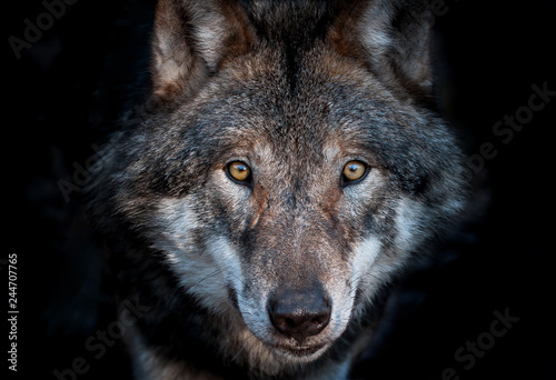 Close up portrait of a european gray wolf