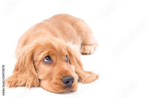 Foto  A golden cocker spaniel puppy photo shoot isolated on white background