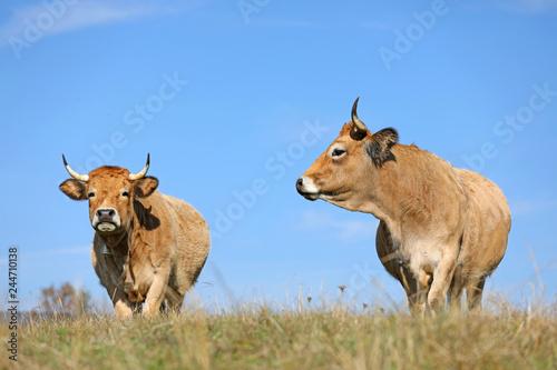 Poster de jardin Vache Vaches de race Aubrac. Aveyron, Auvergne
