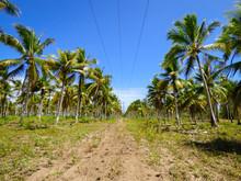 Coconut Tree Plantation On Ita...