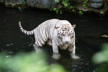 White Tiger On Water Looking At Camera