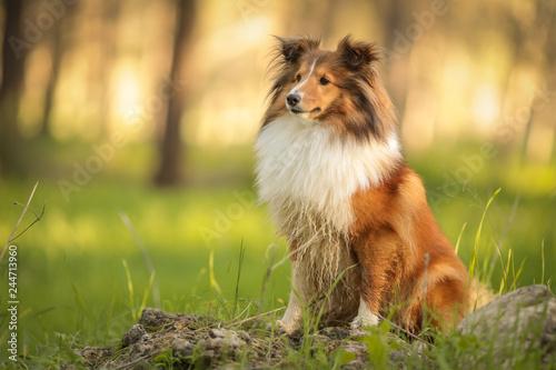 Fotografía  portrait of Collie dog