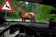 canvas print picture - Vorsicht Wildwechsel - Hirsch überquert Waldweg