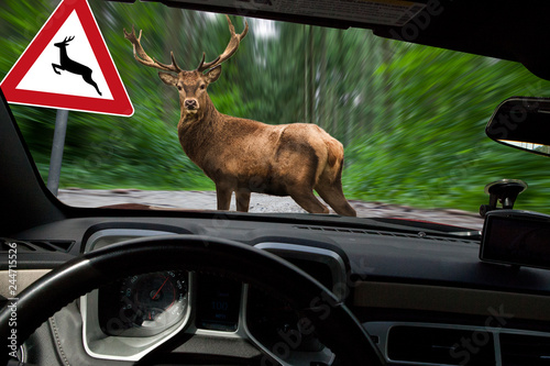 Foto op Aluminium Ree Vorsicht Wildwechsel - Hirsch überquert Waldweg