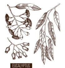 Vintage Collection Of Hand Drawn Eucalyptus Sketches. Cosmetics And Medical Myrtle Plant. Vector Tasmanian Blue Gum Botanical Drawings With Berries, Flowers, Leaves And Seeds.