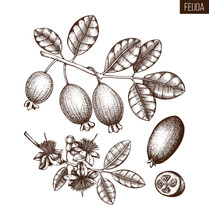 Feijoa Hand Drawn Illustration. Engraved Botanical Sketch Of Myrtle Plants. Vintage Tropical Fruit Design. Pineapple Guava Drawing.