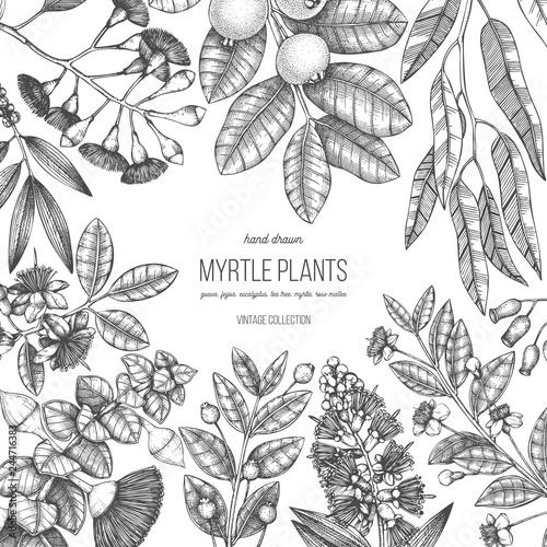 Fototapeta Botanical design with hand drawn mirtles - tea tree, eucalyptus, guava, myrtus, feijoa sketches. Medicinal and aromatic plants frame. Botanical square template. obraz