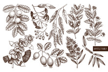 Vector Collection Of Myrtle Family Plants Illustrations. Hand Drawn Myrtus, Tea Tree, Guava Fruit, Eucalyptus, Feijoa Sketches. Essential Oils Ingredients For Cosmetics And Medicine.
