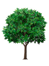 Vector Realistic Tree With Green Leaves. Garden Fruit Tree With A Lush Crown. Detailed Plant. Isolated On White Background.