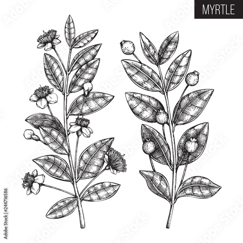 Fototapeta Vintage collection of Hand drawn myrtle tree  sketches. Cosmetics and medicinal plant vector illustration. Botanical drawings with berries, flowers and leaves. obraz