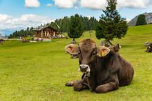 Cow On Green Field In Dolomite...