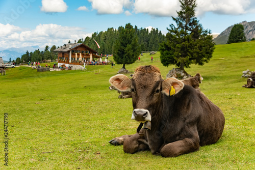 Cow on green field in Dolomites mountains, Trentino Italy