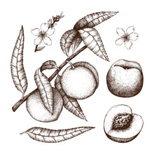 Hand Drawn Peach Sketch. Vector Tree Drawing With Fruit, Leaves And Flowers. Botanical Illustration Isolated On White. Organic Food.
