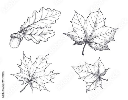 Fotografie, Obraz  Maple Leaves Monochrome Sketches Isolated Vector