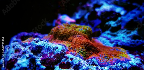 Rainbow montipora sps coral in aquarium