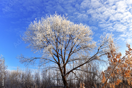 Beautiful winter landscape. Snow-covered trees with hoarfrost against the blue sky and clouds