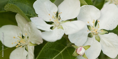 beautiful flowering branch of pear with white flowers