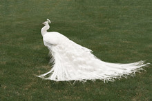 White Peacock On Green Grass