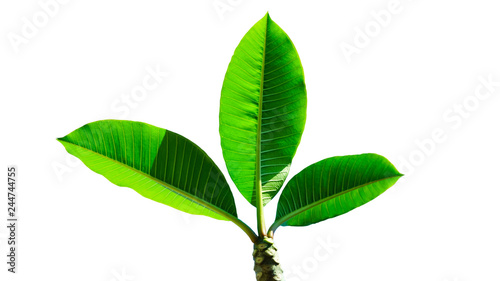 Fotografija  Frangipani tree's green leaves on a white background