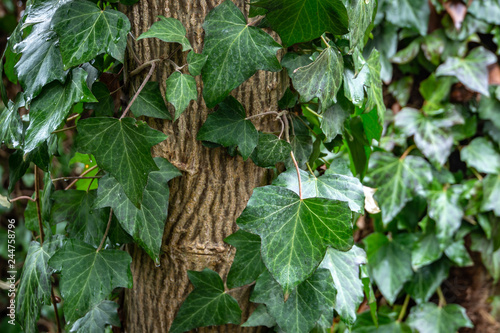 Valokuvatapetti Wet green  leaves of common ivy Hedera helix, or european ivy, english ivy crawling up the white walnut tree