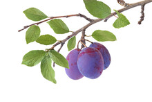 Branch Of Plums Isolated On A White