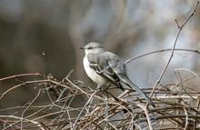 Mockingbird, Mimus Polyglottos, Atop A Tree