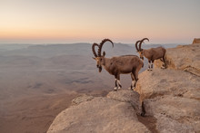 Two Ibexes On The Cliff At Ram...