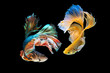 The moving moment beautiful of green and yellow siamese betta fish or half moon betta splendens fighting fish in thailand on black background. Thailand called Pla-kad or dumbo big ear fish.