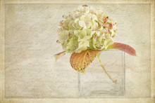 Vintage Style Textured Photograph Of A Lone White Hydrangea Bloom In A Vase On Ecru