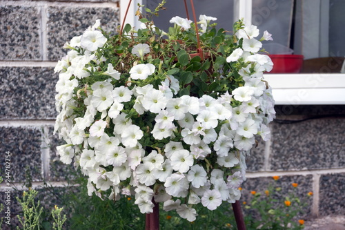 A Flowerpot With Lush Flowers Of White Petunia Hangs Outside The
