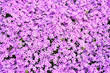 canvas print picture - Pink flowers subulate Phlox as an element of landscape design. Background