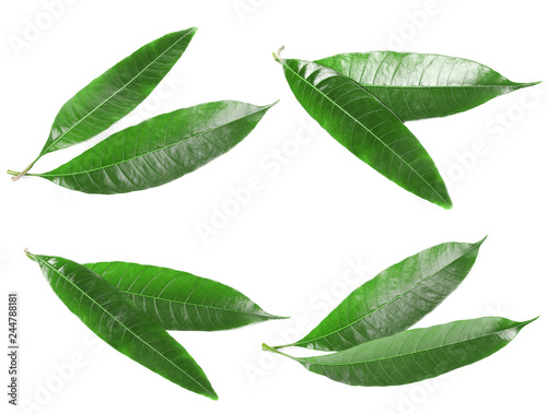 Composition of fresh mango leaves on white background, top view