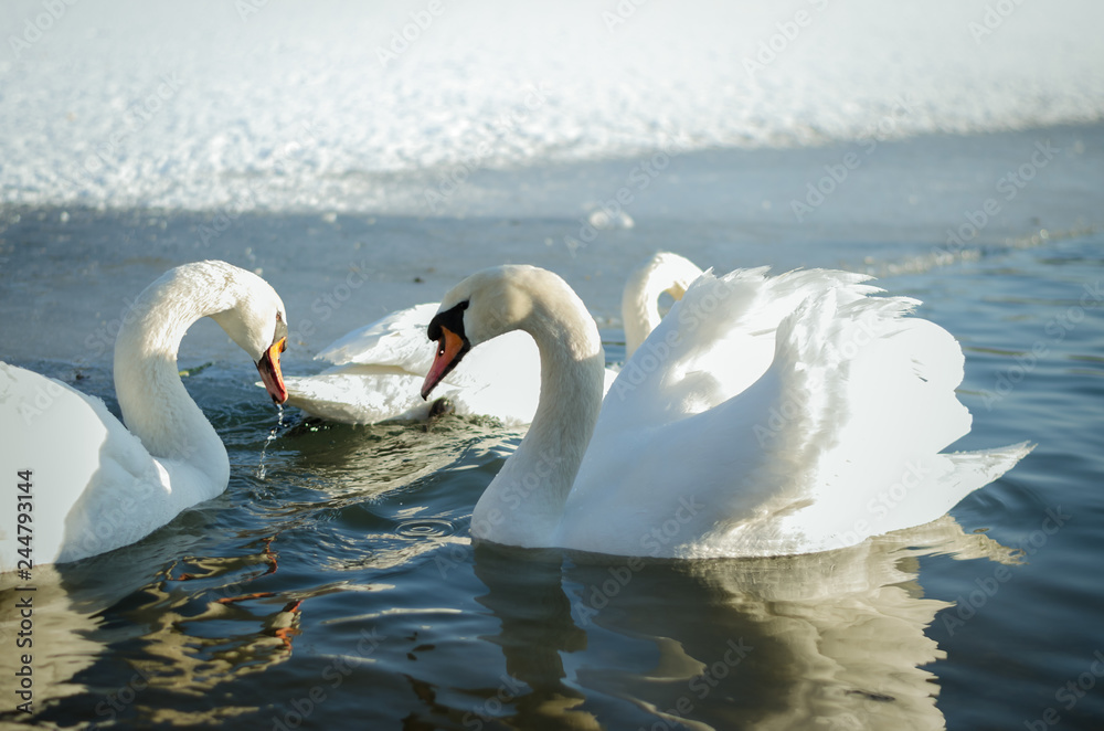swans in frozen lake on snow