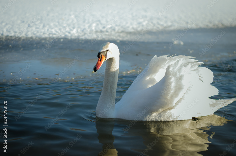 lonely swan in frozen lake on snow