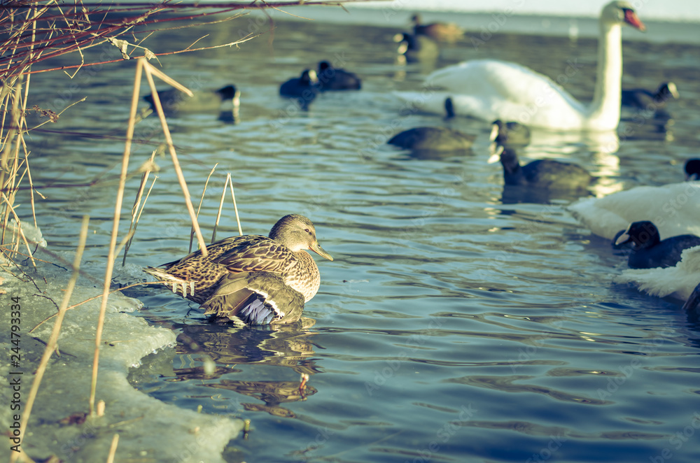 birds on water in winter time