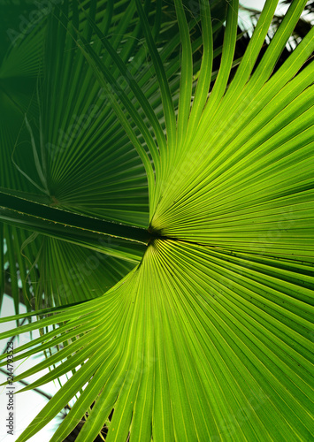 Αφίσα  Tropical Palm leaf in the garden, Green leaves of tropical forest plant for natu