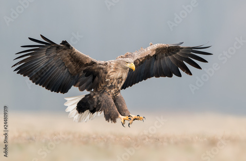Cadres-photo bureau Aigle White tailed eagle (Haliaeetus albicilla)