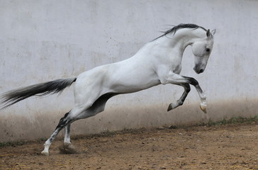Obraz na płótnie Canvas Slender light grey Akhal teke stallion with black mane and tail leaps upward in jump in a paddock beside gray concrete wall. Horizontal, side view, in motion.