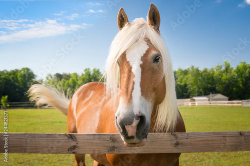 Poster Chevaux palomino horse